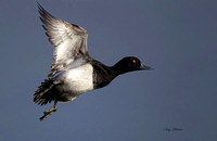 Lesser Scaup Drake Flight 1
