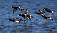 Lesser Scaup Flight Group 3
