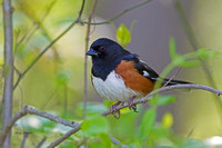 Eastern Towee