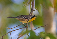 Yellow Throated Warbler