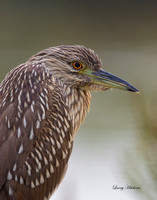 Black Crowned Night Heron, portrait juvenile