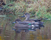 Blue Winged Teal Drake & Green Winged Teal Hen