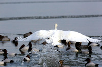Tundra Swan  Outta the Way Ducks