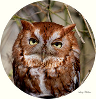 Red Phase Screech Owl