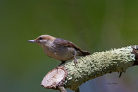 Brown Nuthatch