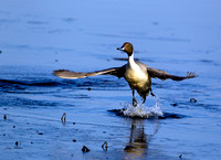 Northern Pintail 7