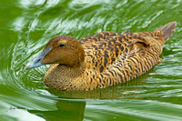 Common Eider Hen