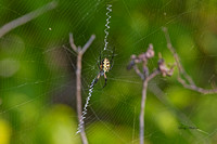 Black & Yellow Argiope spider