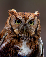 Screech Owl Red Phase
