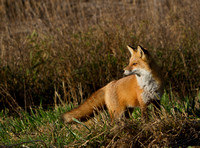 Red Fox Vixen Two