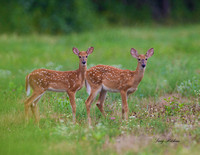 White Tailed Deer Twins