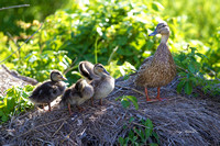 Mallard Hen With Chicks 1