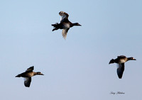 White Winged Scoters