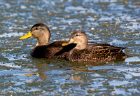 American Black Duck Pair