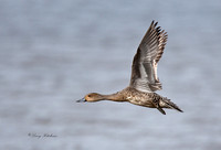 Pintail in Flight 1