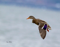 Mallard Hen Flight 1