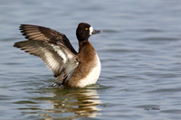 Lesser Scaup Hen Airing Out the Wings