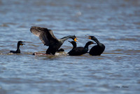 Double Crested Cormorants Fighting