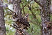Great Horned Owl 7