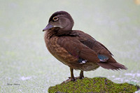 Wood Duck Juvenile