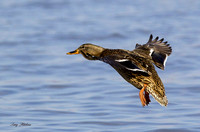 Mallard Hen Flight 3