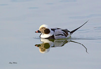 Long Tailed Duck 3