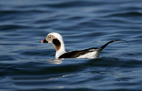 Long Tailed Duck 1