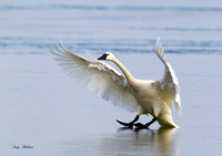 Tundra Swan Landing on Ice 7