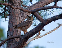 Great fHorned Owl