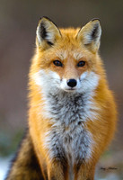 Red Fox Male