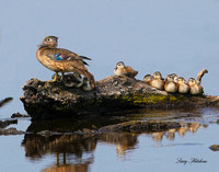 Wood Duck with Chicks