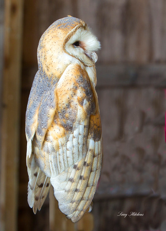 Barn Owl Adult