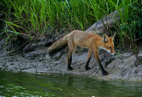 Red Fox on Shoreline