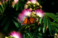 Viceroy Butterfly 2