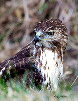Red Tailed Hawk Juvenile Portrait