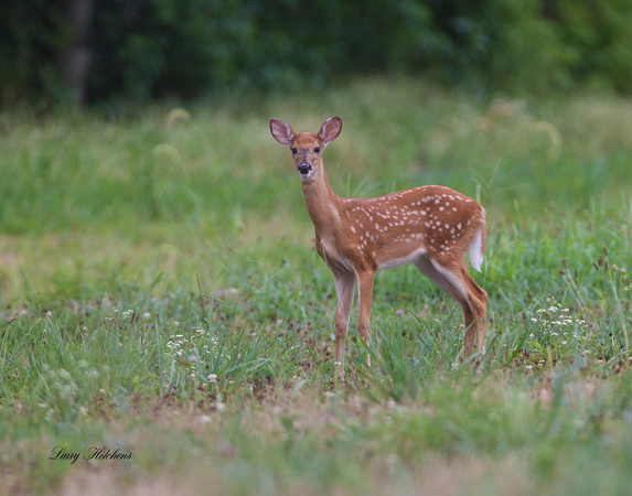 White Tailed Deer Fawn 1